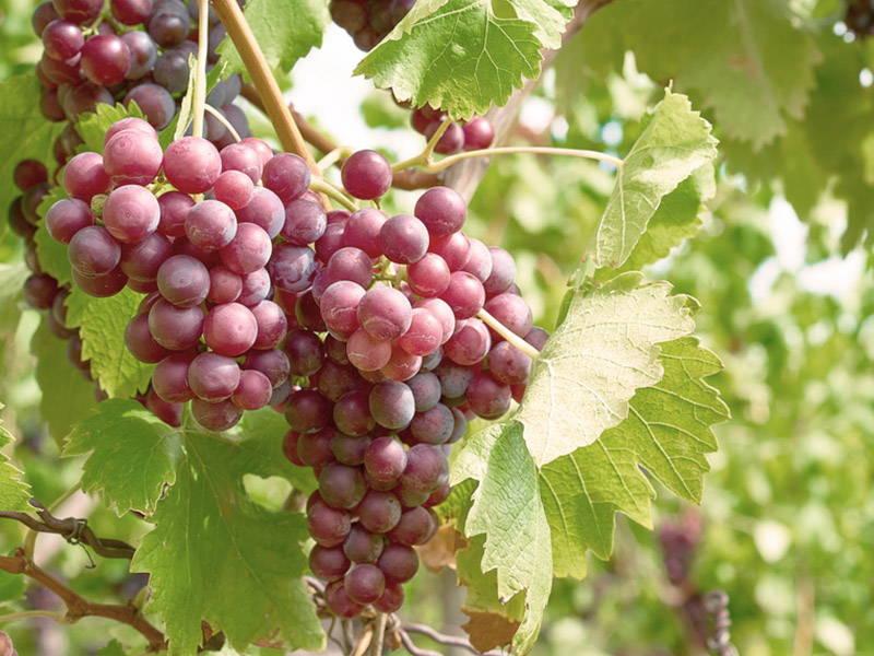 Grapes Increase Testosterone